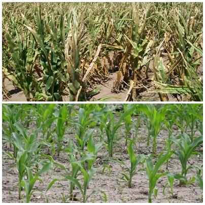 Sequía: estiman que se perderían unos  2.150 millones de dólares de producción agropecuaria