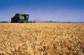 Cae área de siembra de trigo