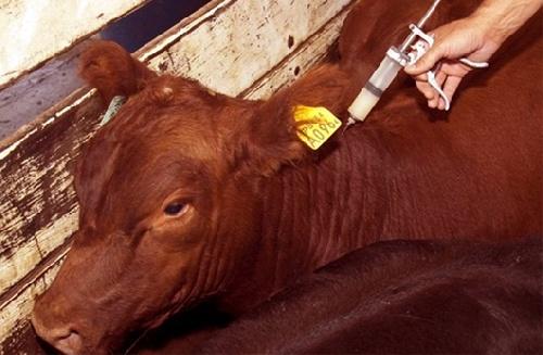 Fiebre aftosa: Senasa resolvió extender la vacunación por 30 días