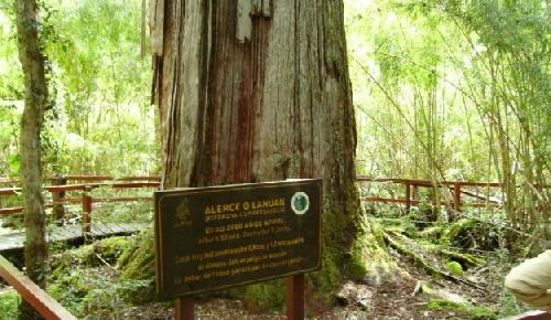 Un árbol de 2.600 años, el habitante más longevo del Parque Nacional Los Alerces en Chubut